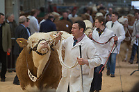 Stirling Bull Sales 2018<br /> Simmental judging at the Stirling Bull Sales <br /> &copy;Tim Scrivener Photographer 07850 303986<br /> ....Covering Agriculture In The UK....
