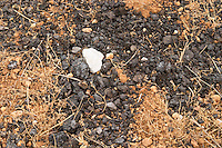 Natural goat fertilizer. Domaine de la Garance. Pezenas region. Languedoc. Terroir soil. France. Europe. Vineyard.