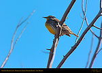 Western Meadowlark, Bosque del Apache Wildlife Refuge, New Mexico