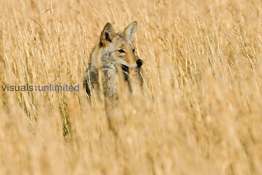 Coyote (Canis latrans) on the hunt in a grassland, North America.
