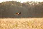 A harrier hawk hunting low over a field near Baytown, Texas.