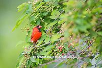 01530-22002 Northern Cardinal (Cardinalis cardinalis) male in serviceberry bush (Amelanchier canadensis)  Marion Co., IL