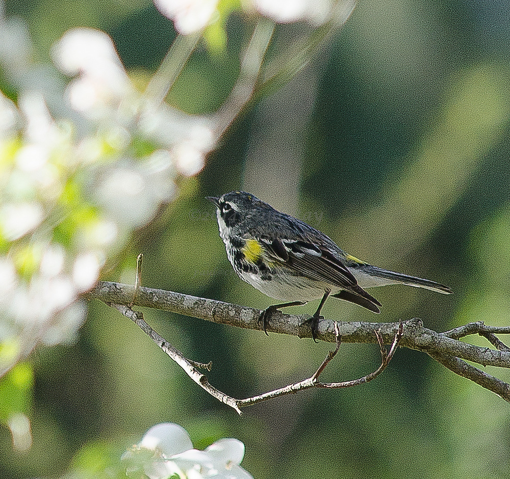 Yellow-rumped Myrtle Warbler in Dogwood tree