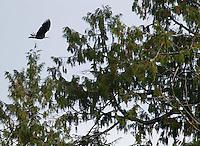 A bald eagle flies high over Vancouver Island.