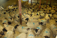 Suffolk cross ewes in for lambing Ashburton, Devon....Copyright John Eveson 01995 61280.j.r.eveson@btinternet.com