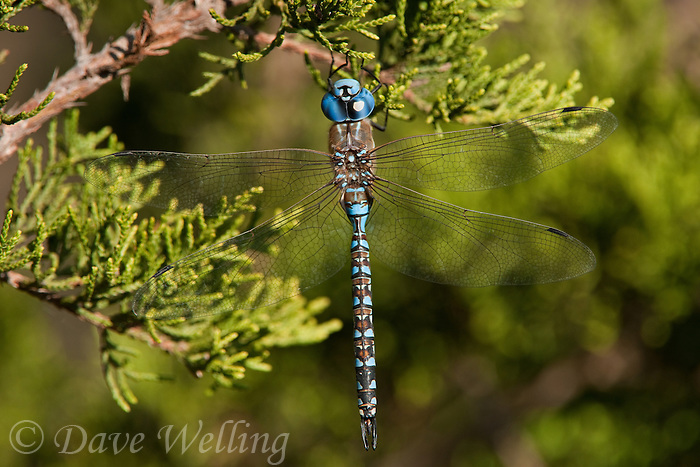 339360015 a wild male blue-eyed darner dragonfly rhionaeschna multicolor perches on a small limb at southeast regional park austin travis county texas united states