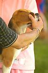 """13"""" Beagle."""