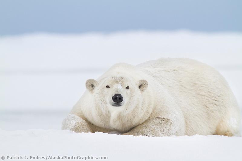 Adult female polar bear lays on the snow on an island in the Beaufort Sea on Alaska's arctic coast.