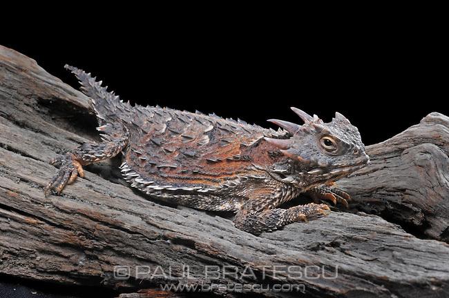 Horned Lizard (Phrynosoma coronatum)
