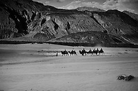 Caravans of camels replicating the original trade caravans of the old Central Asian Silk route. Found in the Nubra valley of Ladakh, wedged between the shadows of the great Karakoram range and the Zanskaar range