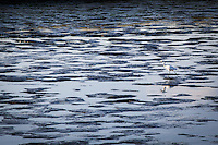 Reflections shine while a nearly invisible Snowy egret probes the shallow waters of San Leandro Bay.