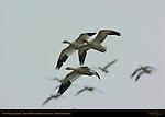 Snow Geese in Flight, Reifel Migratory Bird Sanctuary, British Columbia, Canada