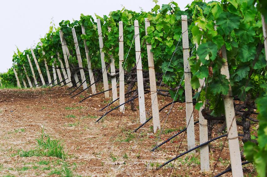 Vineyard. Irrigation. Strantza village near Naoussa. Macedonia, Greece.