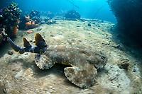 Tasseled wobbegong, Eucrossorhinus dasypogon, Raja Ampat, Papua, Indonesia, Pacific Ocean