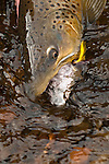 Brown trout caught on a steamer fly on the South Fork of the Snake River, Idaho.