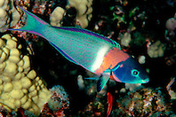 saddle wrasse, terminal male color phase, Thalassoma duperrey, endemic species, Kona, Big Island, Hawaii, Pacific Ocean