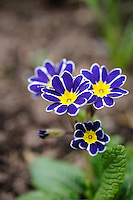 Polyanthus 'Mary' - Check with Olive Mason