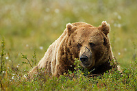 Brown Bear (Ursos arctos), male resting, Finland, July 2012