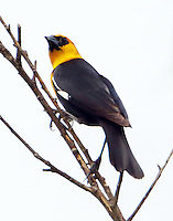 Male yellow-headed bvlackbird