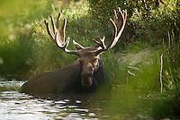 Moose, Jackson Hole, Wyoming