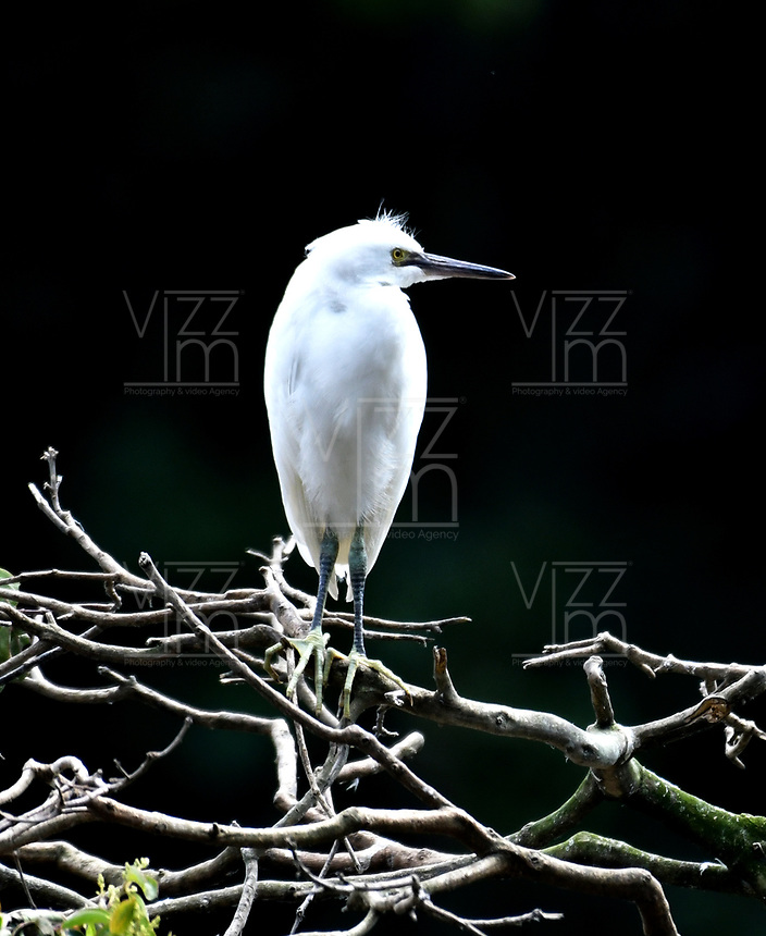 CALI - COLOMBIA - 20 - 06 - 2017: Garcita Patiamarilla (Egretta Thula), especie de ave muy común en el Valle del Cauca, Colombia. / Garcita Patiamarilla (Egretta Thula), a very common bird species in the Valle del Cauca, Colombia. / Photo: VizzorImage / Luis Ramirez / Staff.
