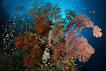 Reef scape with black coral and gorgonian sea fan, with boat in the background, Raja Ampat, Indonesia