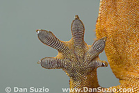 Right front foot pads of New Caledonian Crested Gecko, Rhacodactylus ciliatus, also called Guichenot's Giant Gecko or Eyelash Gecko.  Microscopic setae and spatulae on the gecko's feet allow it to walk on almost any surface.  Endemic to New Caledonia in the South Pacific, the crested gecko was thought extinct until it was rediscovered in 1994.  It is now one of the most commonly kept species of gecko in captivity.  .