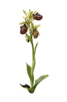 Early Spider Orchid - Ophrys sphegodes