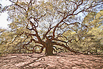 Angel Oak Tree on Johns Island South Carolina is a Live Oak Tree estimated to be 1400 years old and the oldest living thing on the eastern seaboard.