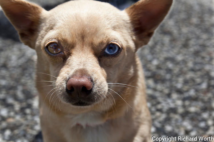"Frankie's story is one of abuse, multiple abandonments and rescues.  He is now in a stable and loving home, and he is thriving.  His current 'mom' describes him, with a grin, as, ""Part Chihuahua, part Heinz 57"".   Frankie has one brown eye and one blue, heterochromia, which the National Institute of Health says is common among dogs, and usually hereditary."