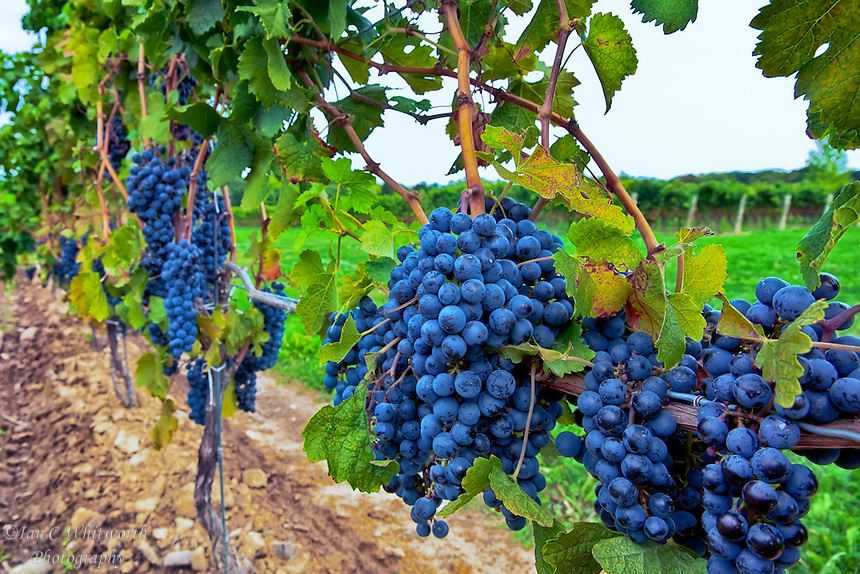 Ripe grapes on the vine at a Niagara vineyard.