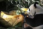Foto: VidiPhoto<br /> <br /> RHENEN – Voor het eerst van hun leven maakten de reuzenpanda Xing Ya en Wu Wen in Ouwehands Dierenpark vrijdag kennis met een reuzenpompoen van 200 kilo. De giga lekkernij was gevuld met appels, wortelen, pandabrood en bamboe. Zonder de hulp van de verzorgers zouden ze er niets van geproefd hebben, want die waren het die de 'deksel' van het gevaarte moesten halen. Vervolgens werd de uitgeholde pompoen netjes leeggevreten. Het aanbieden van deze traktatie is een vorm van verrijking. Nederlandse dierenparken proberen zoveel mogelijk het natuurlijk gedrag van dieren te stimuleren. Variatie aanbrengen in voedsel en de manier van aanbieden wordt veel als verrijking toegepast.  De reuzenpanda is een bedreigde diersoort en komt alleen in China in het wild voor. De laatste telling heeft aangetoond dat er nog 1.864 reuzenpanda's in het wild leven.