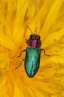 Glänzender Blütenprachtkäfer, Glänzender Blüten-Prachtkäfer, Zierlicher Prachtkäfer, Zierliches Prachtkäferchen, Glänzender Eckschild-Prachtkäfer, Glänzender Eckschildprachtkäfer, Weibchen, Blütenbesuch auf Löwenzahn, Anthaxia nitidula, Jewel beetle, Metallic wood-boring beetle, Prachtkäfer, Buprestidae, metallic wood boring beetles, metallic wood borers, splendour beetles, buprestids
