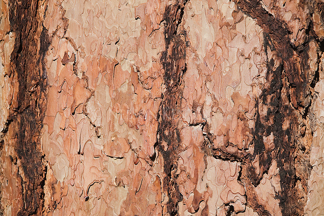 Close up of patterns in ponderosa pine tree bark