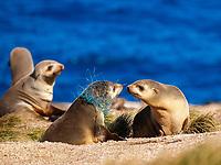 Australian fur seal (Arctocephalus pusillus doriferus) yearling pup with monofilament net entanglement. Kanowna Island, Bass Strait, Australia