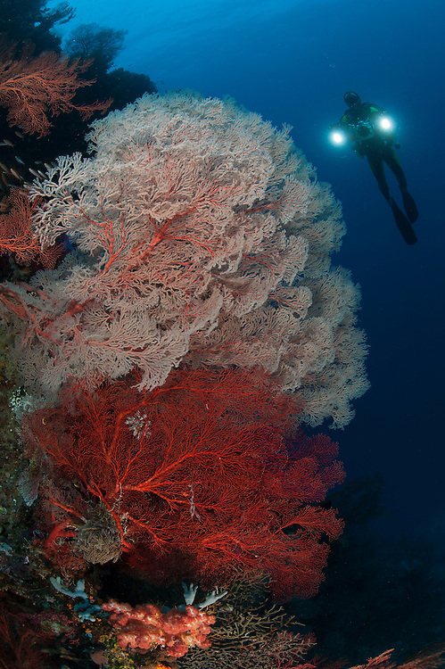 Sea fans illuminated by diver with twin lights, Raja Ampat, Indonesia