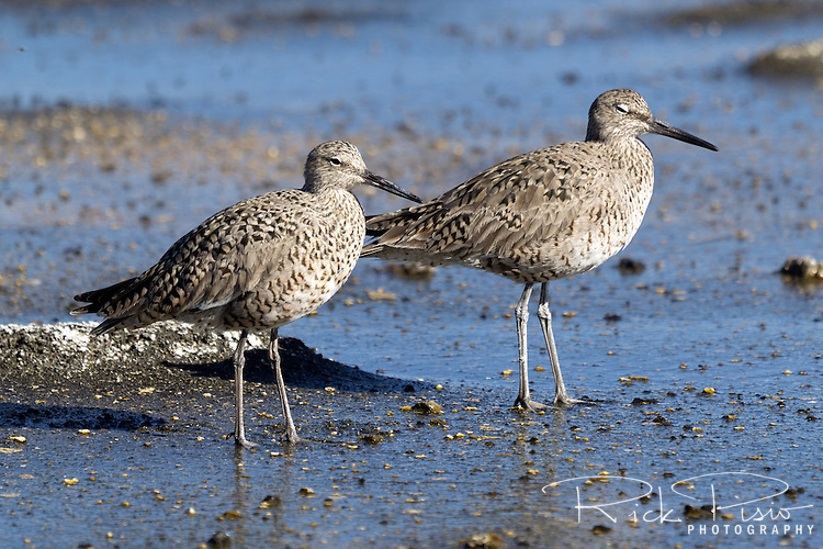 A pair of willets on Mono Lake's shoreline.