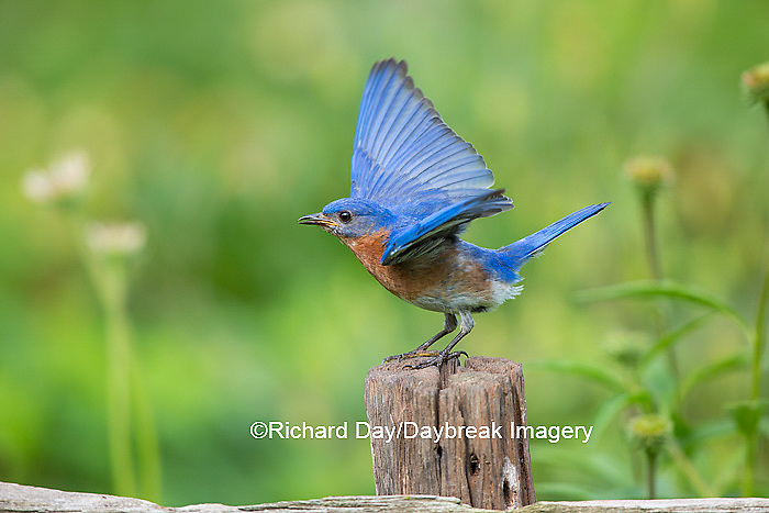 01377-18014 Eastern Bluebird (Sialia sialis) male wing-waving in flower garden, Marion Co., IL
