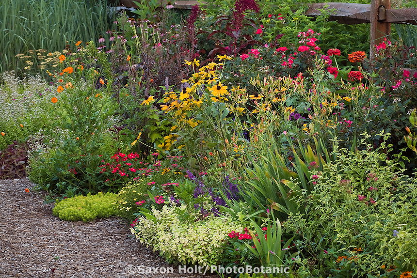 Colorful summer flower garden Rudbeckia hirta, Belamcanda chinensis, Melissa 'All Gold', Caryopteris 'Summer Sorbet', Zinnia, Amaranthus in Nancy Ondra's garden mixed border