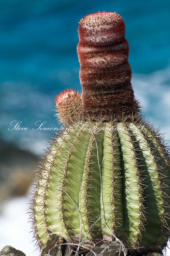 Turkshead cactus on Nanny Point St. John<br /> U.S. Virgin Islands