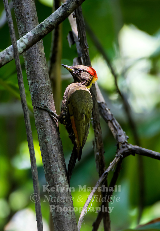 Lesser Yellow-naped Woodpecker (Picus chlorolophus wellsi)