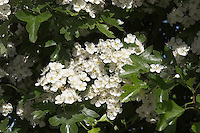 Eingriffliger Weißdorn, Weissdorn, Crataegus monogyna, English Hawthorn, May, Aubépine monogyne
