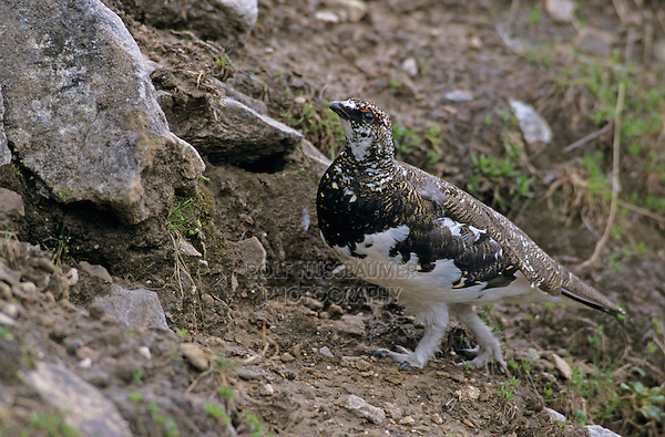 Rock Ptarmigan, Lagopus mutus, male spring plumage, Niederhorn, Interlaken, Switzerland, June1997