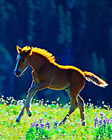Wild horse colt, Pryor Mountains, Montana/Wyoming.