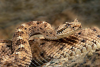 477204006 a sidewinder crotalus cerastes curls into an s-curve defensive position preparing to strike if threatened  this is a captive snake