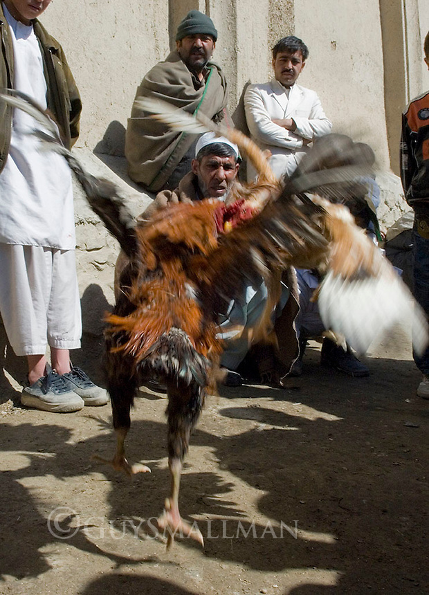 Cock fighting in Bagh Baber's garden Kabul. The contests take place every Friday.