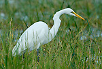Great White Egret, Egretta alba, at waters edge in reeds, Lake Awasa, Ethiopia, non breeding plumage, Africa