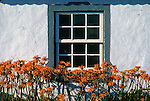 Orange flowers grow in a garden on Terceira, Azores. Far out in the Atlantic Ocean, some 850 miles off the western coast of Lisbon, Portugal lies the 425-mile long archipelago of the Azores. (Jim Bryant Photo) ©2012. All Rights Reserved......