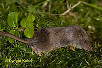 MU46-501z  Masked Shrew or Cinereus Shrew, Sorex cinereus