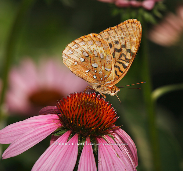 Butterfly, Great Spangled Fritillary, Speyeria cybele, On A Purple Coneflower